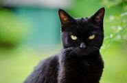 Black-cat-outside