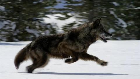 Hunting With the Dark Wolf Wild Yellowstone
