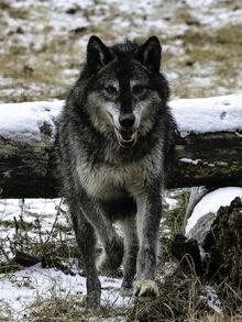 Dark wolf by white voodoo-d4rnirh