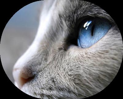 AAAAAAAAAASiam-cat-eye-Desktop-Wallpaper-Free