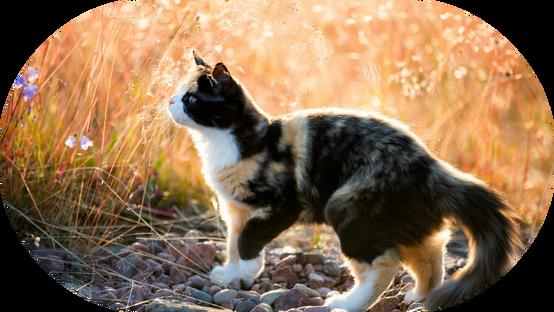 TTTTTTTCalico-kitten-ihd