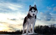 Animals Dogs Blue eyes Siberian Husky 048601