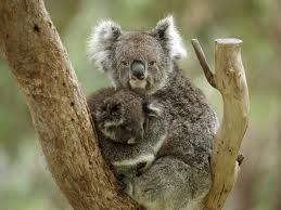 File:Animal koala.jpeg