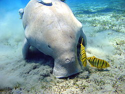 File:Animal Dugong.jpeg