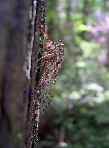 File:442px-Higurashi evening cicada.jpg