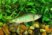 KoreanFreshwaterFish-Pale Chub J01-closeup