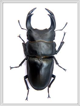 File:PICT0014 giant beetle ookuwagata.jpg