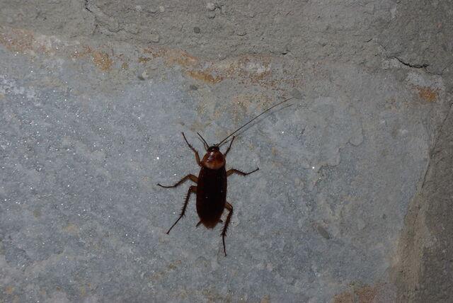 File:Cockroach!.jpg