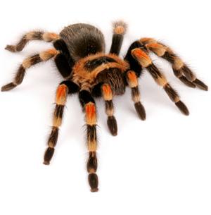 File:20090403 tarantula.jpg