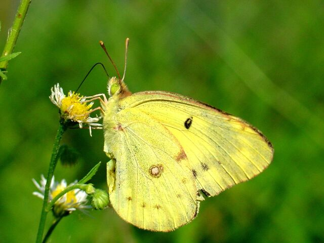 File:Real yellow butterfly.jpg