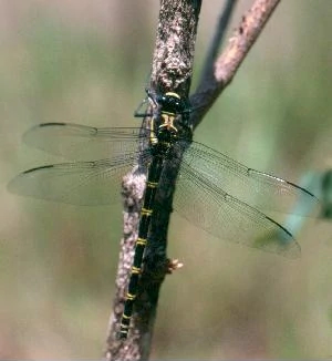 File:Giant petaltail queensland.jpg