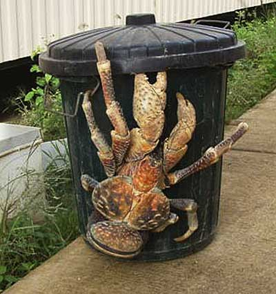 File:Coconut crab.jpg