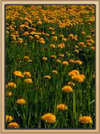 Coral Canyons Dandelions