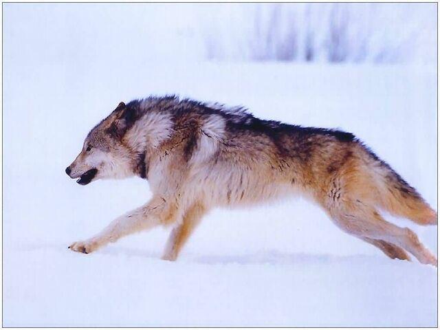 File:F wolves99 11 s-(1024x768).jpg