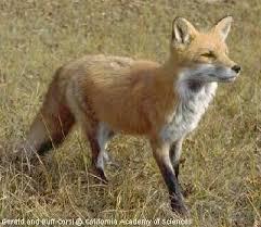 File:Real life fox.jpg