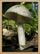 Sarepia Forest Mushroom