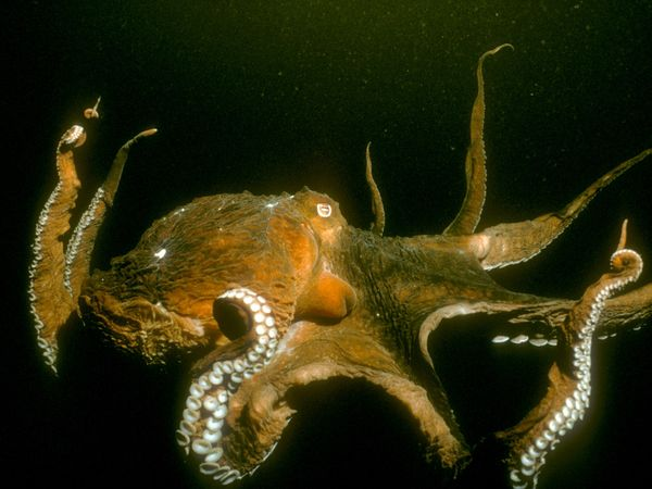File:Giant Pacific Octopus.jpg