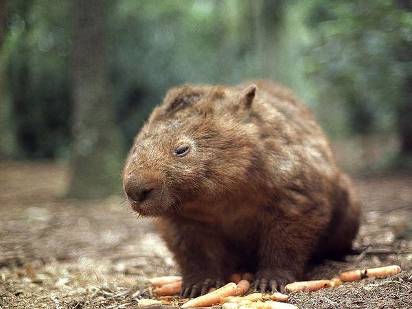 File:Common Wombat.jpg