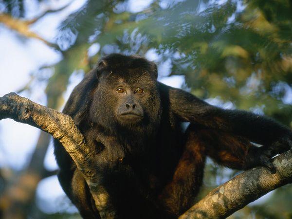 File:Howler Monkey.jpg