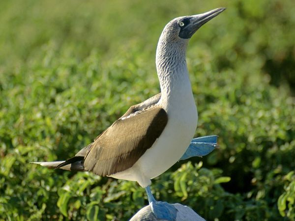 File:Blue-Footed Booby.jpg
