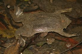 Surinam Toad