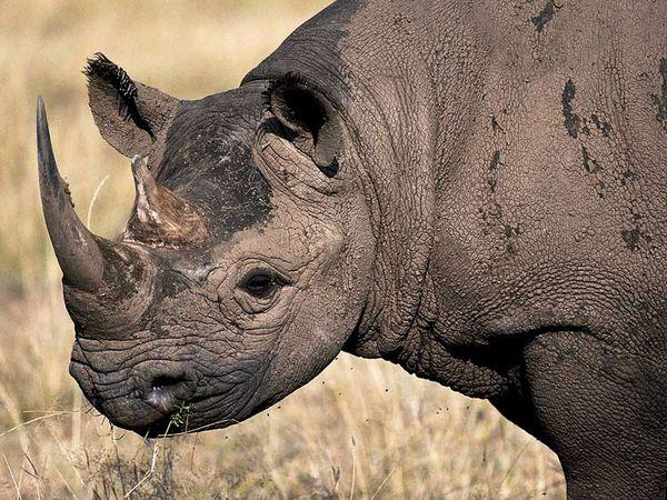 File:Black Rhinoceros.jpg
