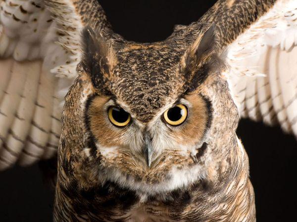 File:Great Horned Owl.jpg