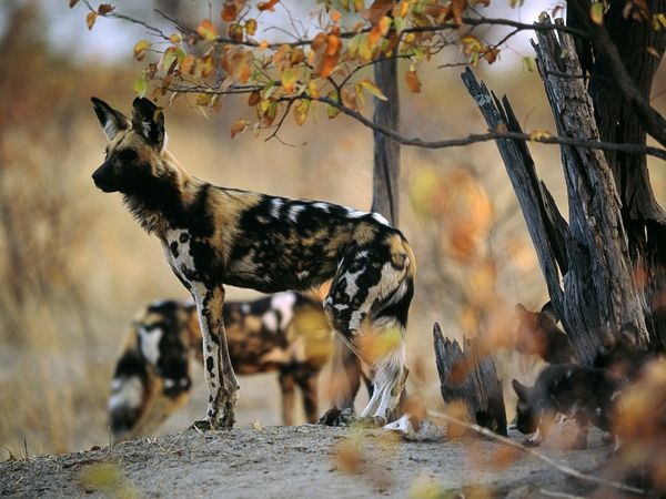File:African Wild Dog.jpg