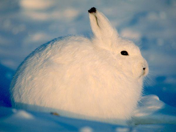 File:Arctic Hare.jpg