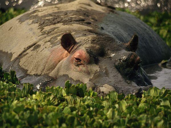File:Hippopotamus.jpg