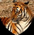 Shield mammalia