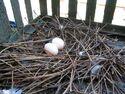 Rock Dove Eggs