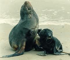 Two South American Fur Seal