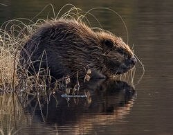 BeaverEurope