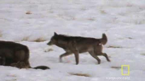 Wolf Hunting Tactics