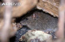 Galapagos-rice-rat-Santa-Fe-Island-subspecies