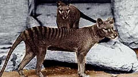 Mysterious Planet Return of the Thylacine?