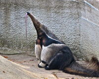 Giant Anteater at Detroit Zoo