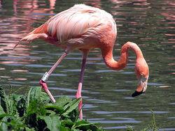 A Tagged American Flamingo
