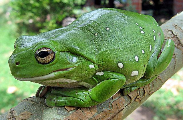 File:Australian Green Tree Frog.jpg