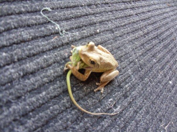 File:Frog Eating Lizard.jpg