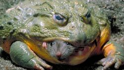 African Bullfrog with Mouse