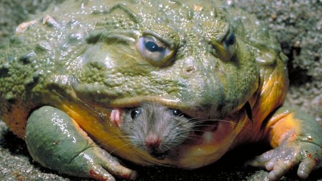 File:African Bullfrog with Mouse.jpg
