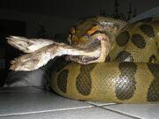 Anaconda eating a Rabbit