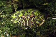 Argentine Horned Frog.jpg