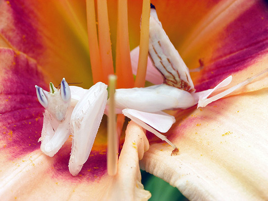 File:Orchid Mantis.jpg