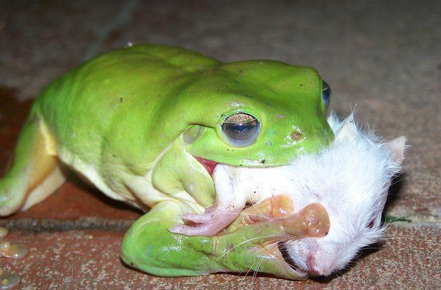 File:Green Tree Frog Eating Rat.jpg
