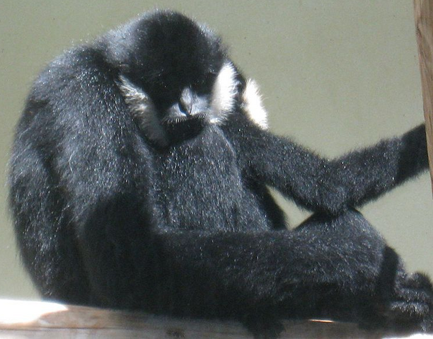 File:Crested Gibbon.png