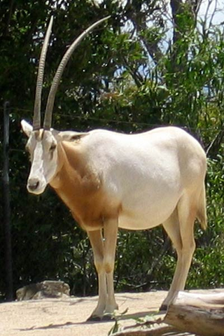 File:Scimitar-horned oryx.png