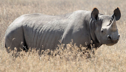 File:Black Rhinoceros.png